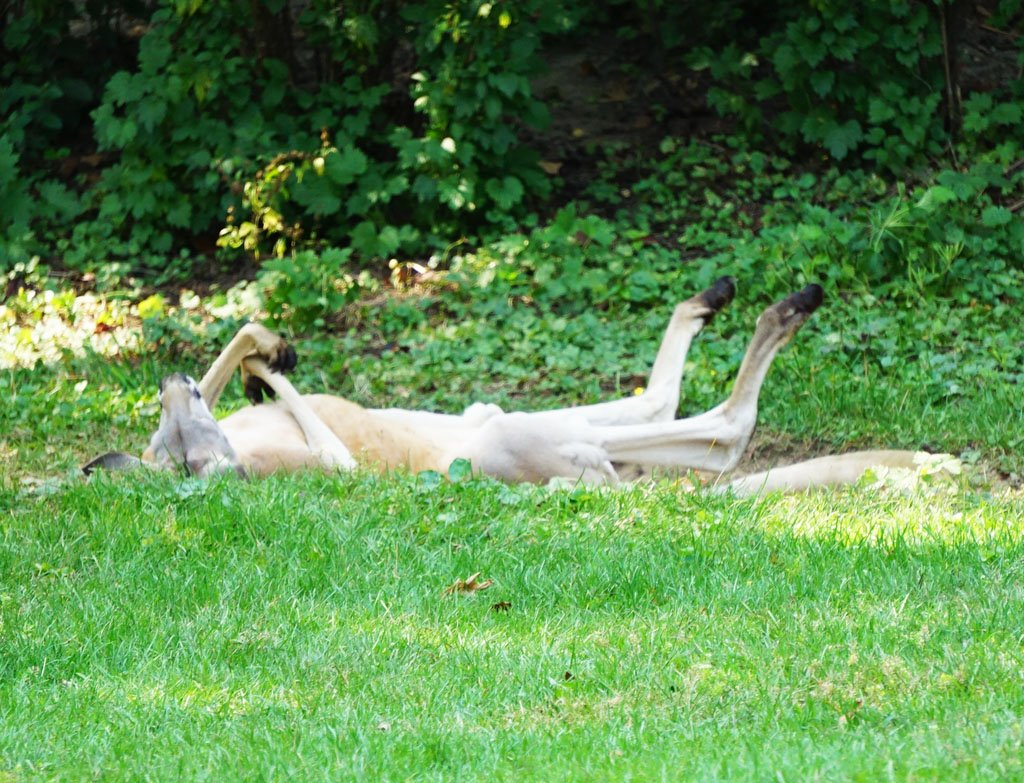Kangaroo lying on its back in a grassy area with green foliage in the background