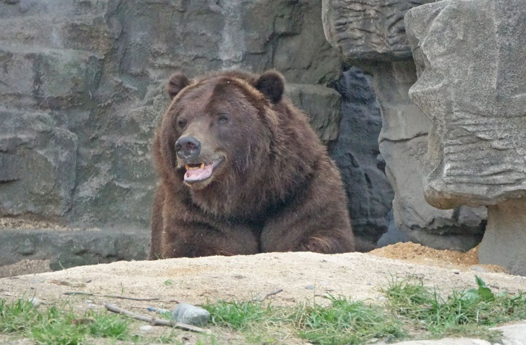 Large grizzly bear laying in a rocky zoo enclosure
