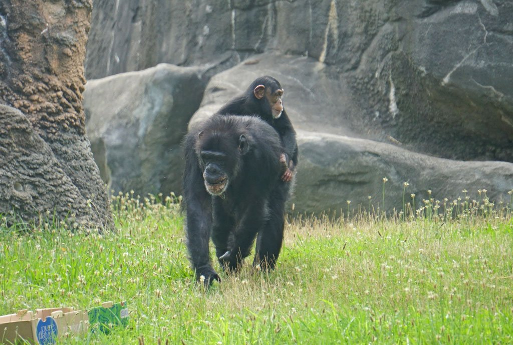 Mother chimpanzee carrying her baby on her back as she walks through tall grass