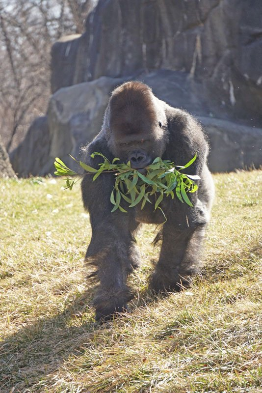 Large gorilla walking with leafy branches in its mouth