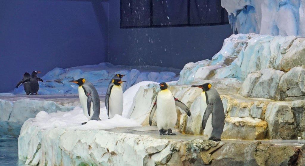 King penguins in an artificial arctic habitat