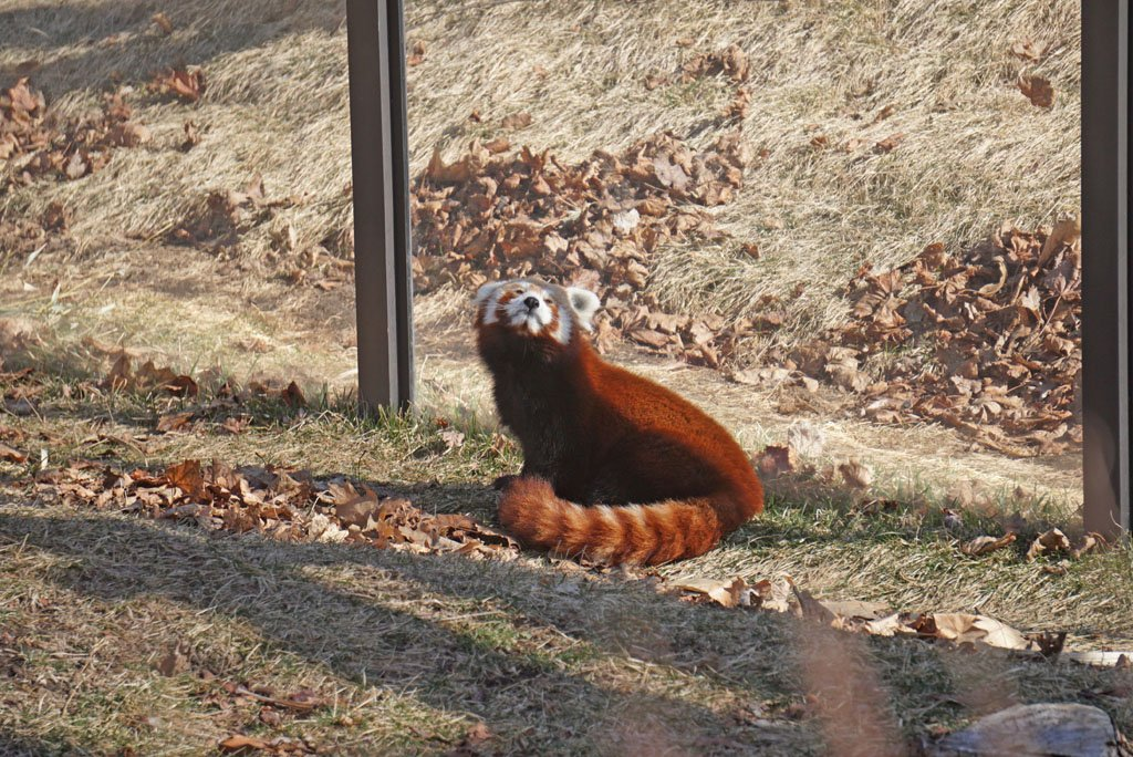 Red panda stretching on the ground in front of a clear glass barricade