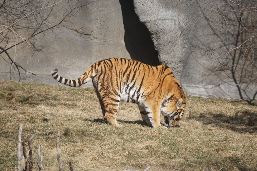 Adult tiger sniffing at the ground in a grassy area