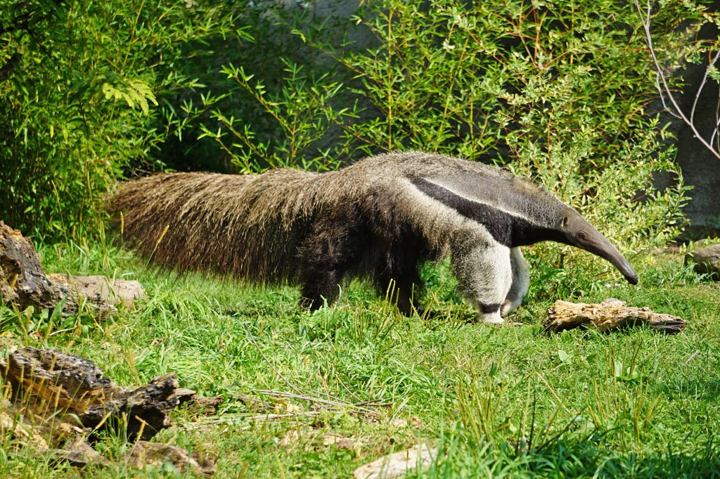 Anteater walking amongst green grass and foliage