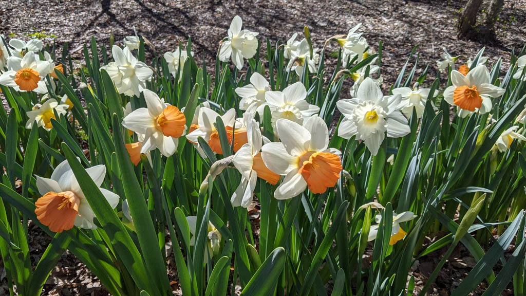 Small group of white daffodils in full bloom in Dow Gardens