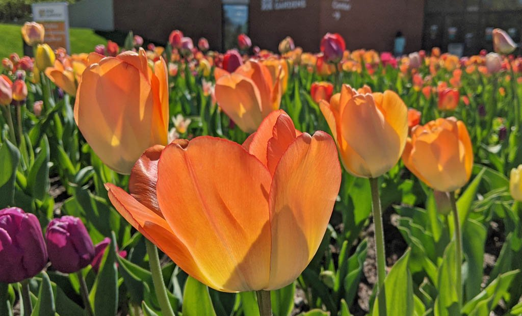 Bright yellow-orange tulips in full bloom in front of the Dow Gardens visitor center