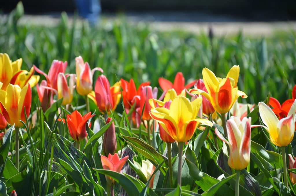Bright red and yellow tulips at the Windmill Island Gardens, one of the top fun things to do in Michigan