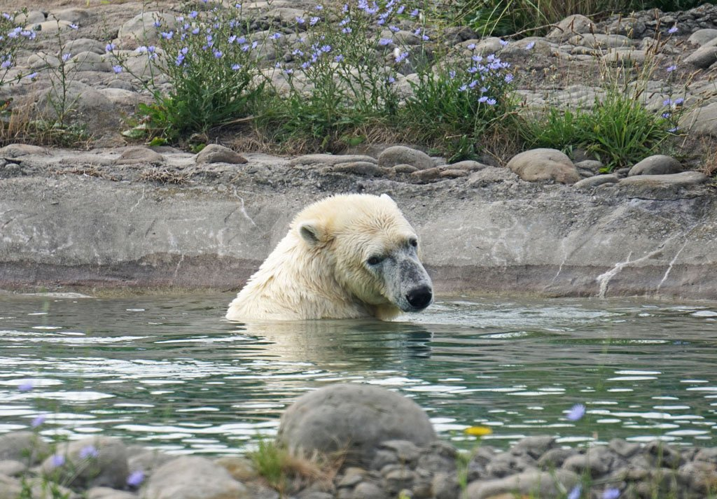 Polar bear swimming in an artificial pond with wildflowers in the foreground and background