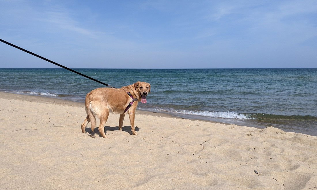 Photo of a caramel colored lab-mix standing on a sandy beach as a small wave breaks from Lake Huron