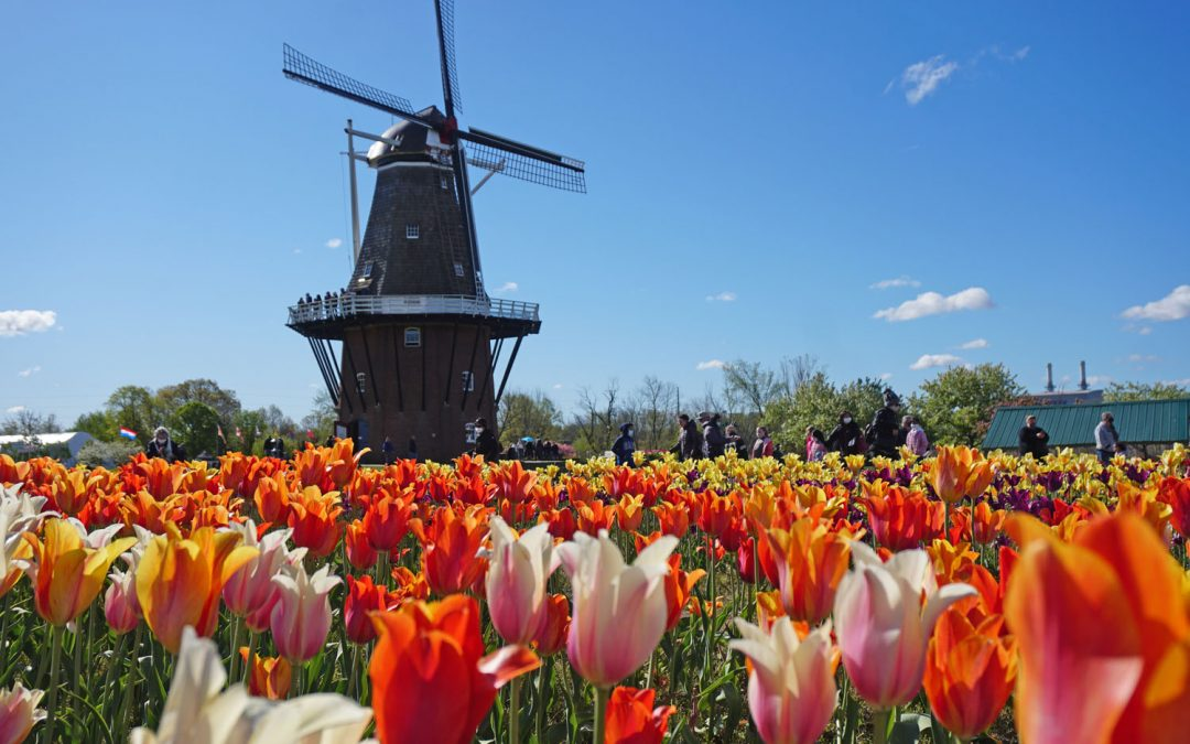Photo of red, orange, and yellow tulips with a tall Dutch windmill in the background, one of the top things to do in Holland, Michigan