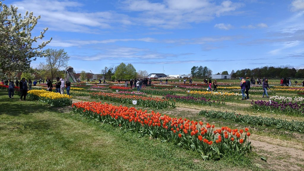 Visitors walk among rows of brightly colored tulips blooms under bright blue skies with a small windmill in the background