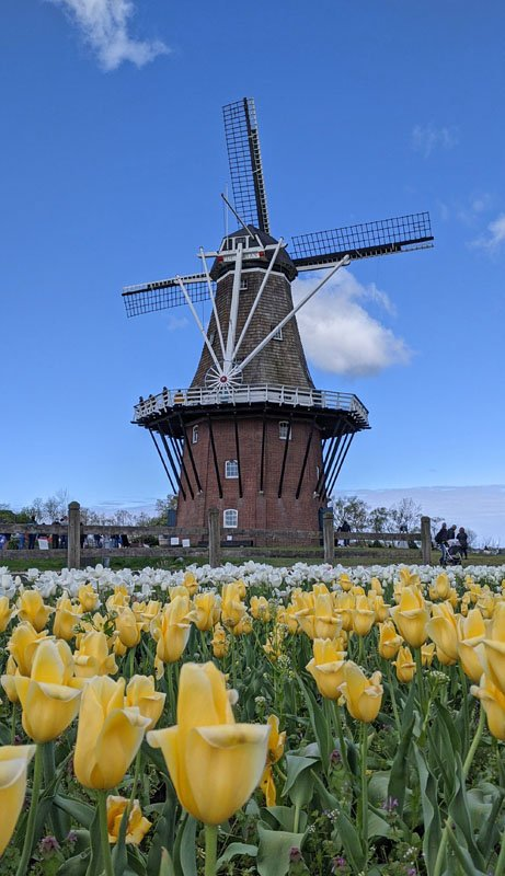Photo of a Dutch windmill with rows of yellow tulips blooming in the foreground at Windmill Island Gardens, one of the top fun things to do in Holland, Michigan